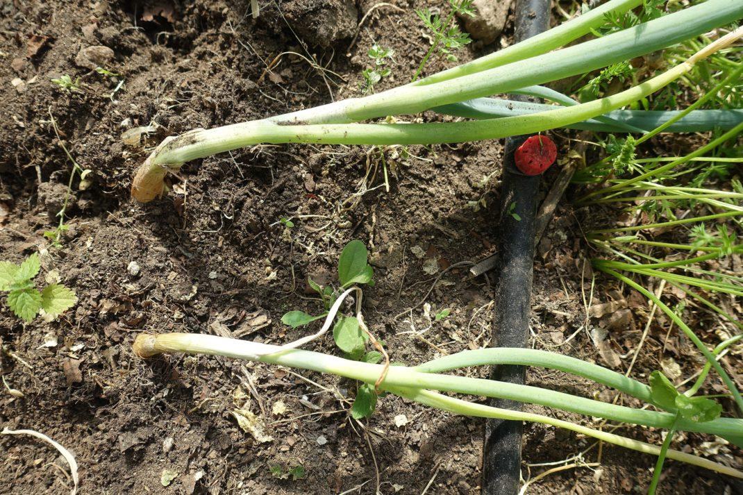 Harvest onion: Slouching leaves.