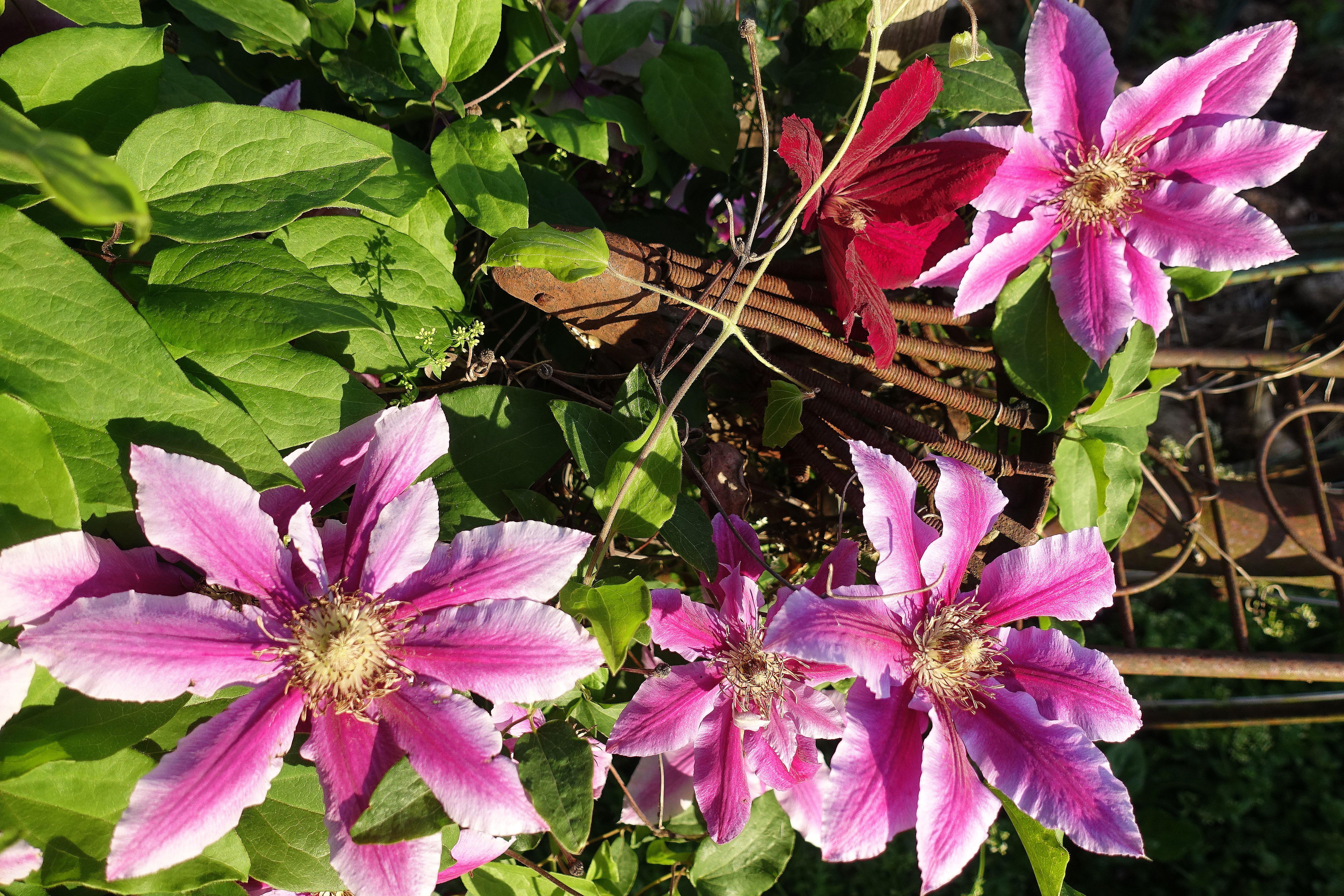 Närbild på rosa stora blommor över en rostig gammal cykelsadel. Pink clematis on and old, rusty bike.