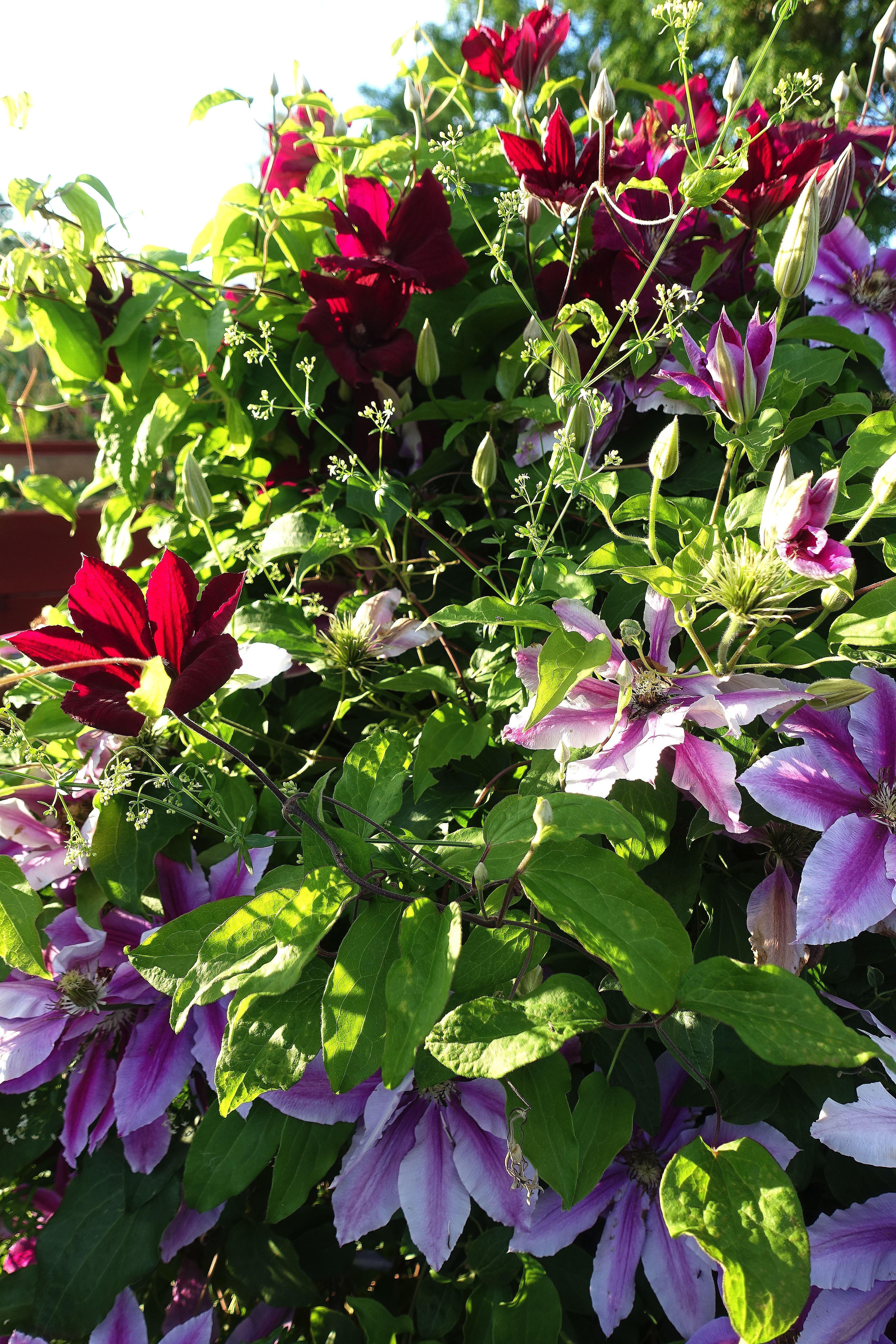 En massa blommor täcker hela bilden. Plenty of clematis in my garden.
