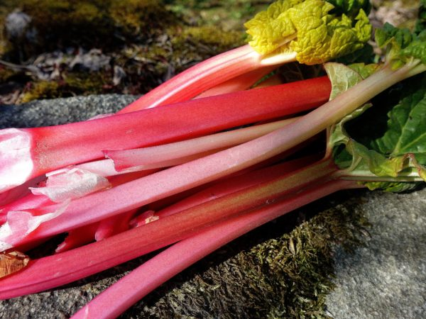 Ett knippe med rabarberstjälkar i vacker rosaröd färg.