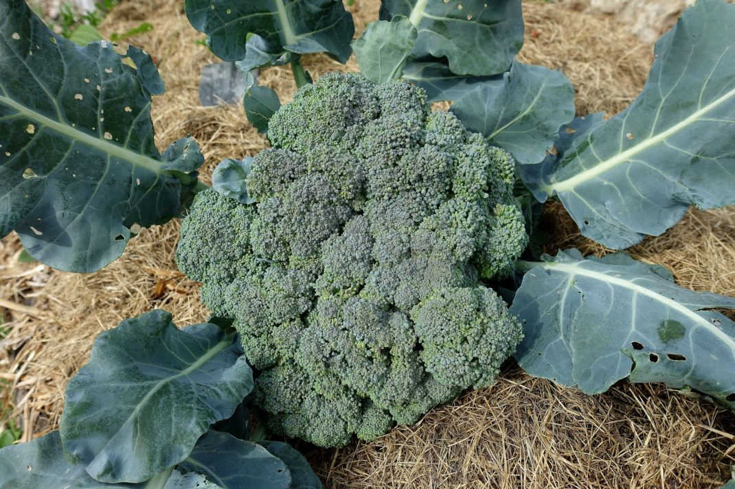 Ett stort grönt och tätt toppskott av broccoli ligger på torkat gräs. Favorite vegetables, large broccoli head on grass.
