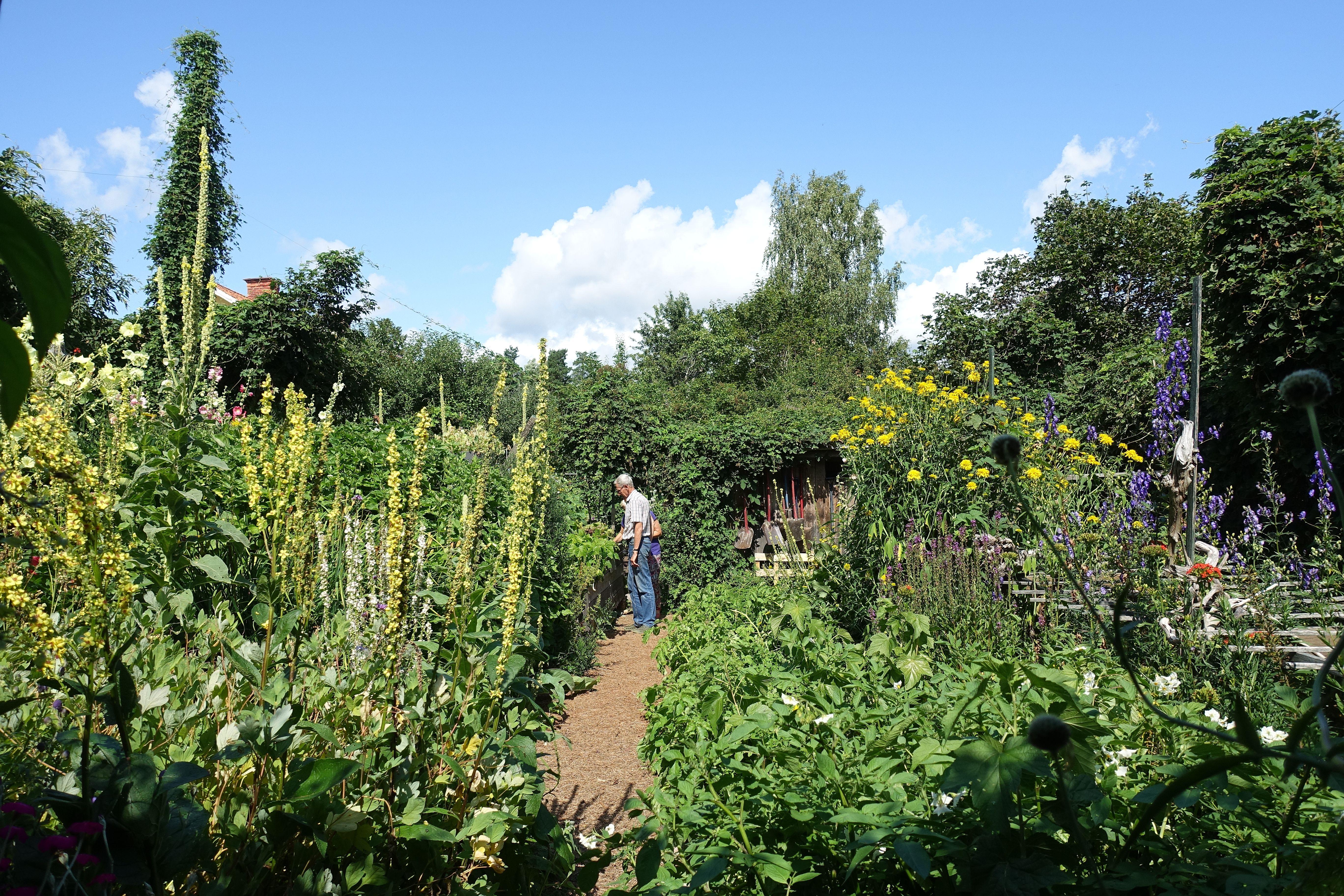En enorm växtkraft med höga växter och blomspiror mot en blå himmel. Mulched garden, tall plants against a blue sky.