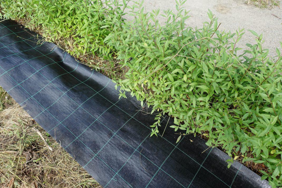 En svart duk av plast ligger under grenarna på en låg häck. Cardboard in the garden. Black landscape fabric.