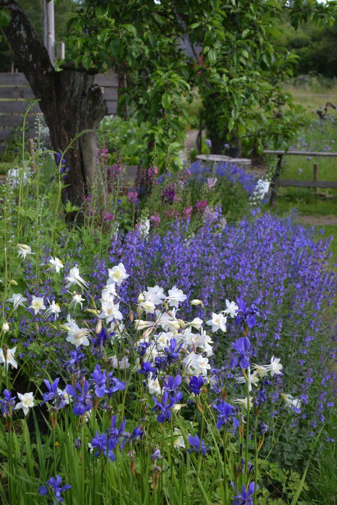 En vacker blå rabatt med vita aklejor i förgrunden. New garden beds, beautiful blue flowers.