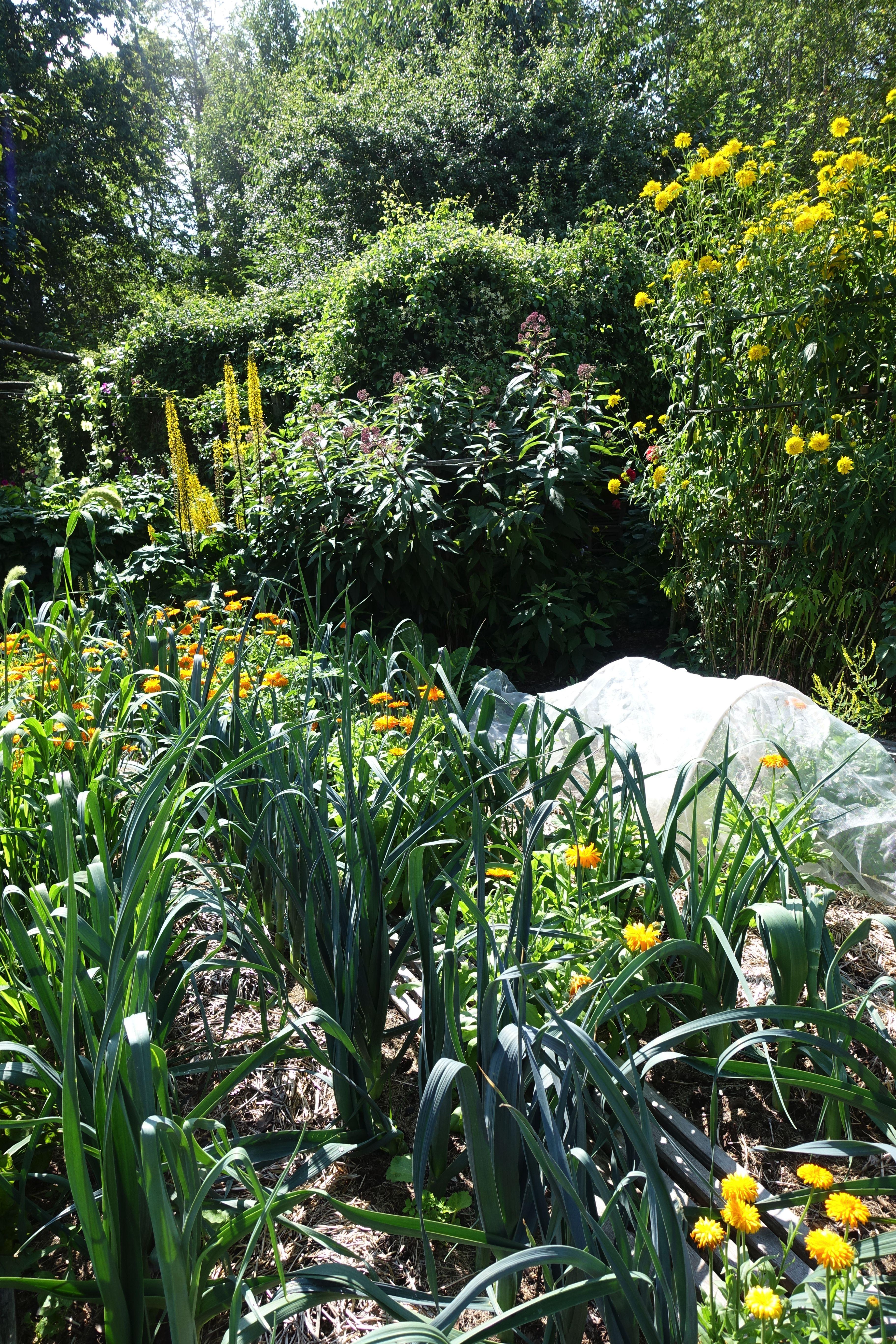 En frodig köksträdgård där purjolök i land omges av höga perenner som blommar i gult. Mulched garden, leek and plenty of perennials.