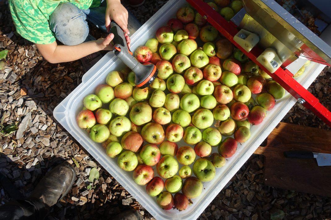 Äpplen ligger i vatten i en stor balja och ett barn sitter bredvid med munstycke till vattenslang. Homemade apple juice, apples in a large tub.