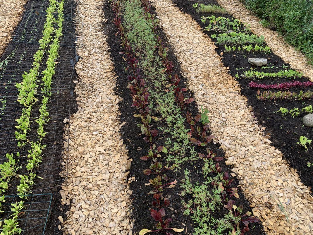 Tre odlingsbäddar med små grönsaker och träflis i gångarna