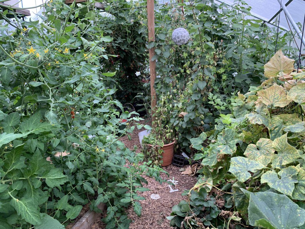Ett frodigt grönt tunnelväxthus med höga växter.