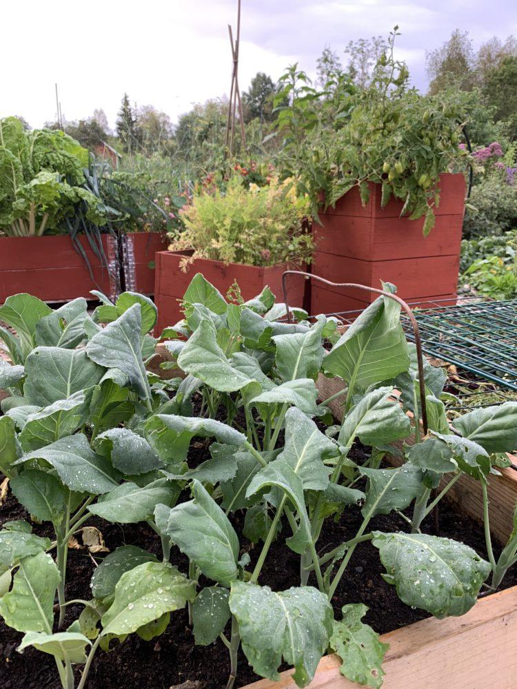 Närbild på gröna kålväxter i pallkrage.