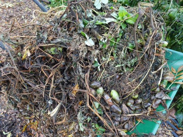 En skottkärra fullt med bladmögeldrabbade växtdelar från tomat.