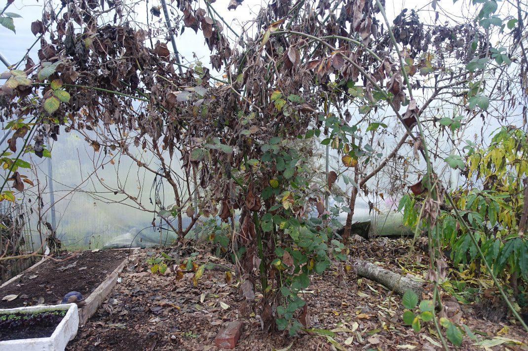 En risig planta med massor av grenar och ihoptorkade blad.
