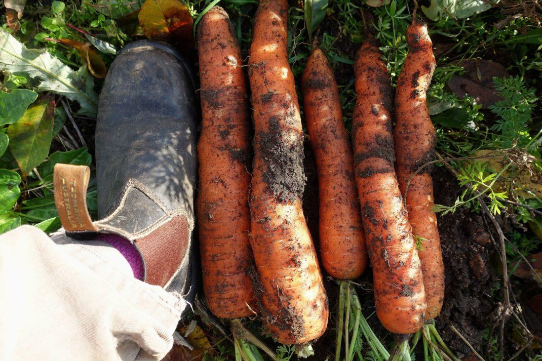 Vintermorötter på marken bredvid en jordig sko. Store carrots, winter carrots next to a foot.