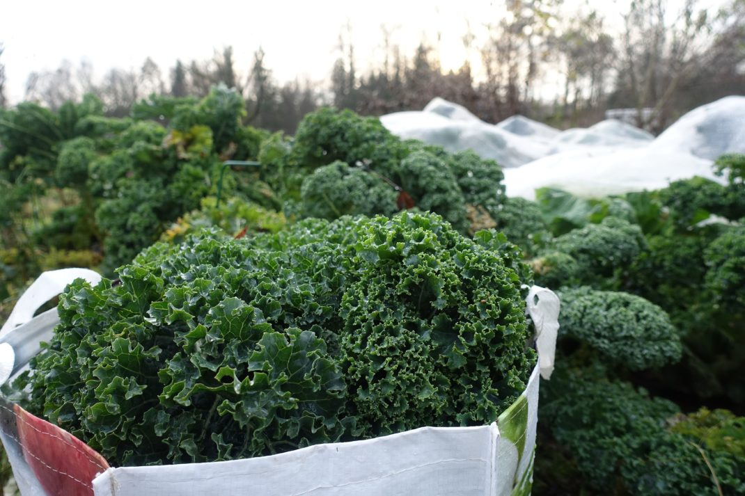 En kasse med nyskördad grönkål. Freeze kale, a large bag of newly harvested kale.
