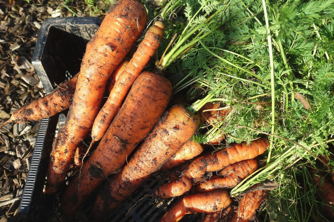 Stora vintermorötter ligger i en svart back. Store carrots, large winter carrots in a crate.