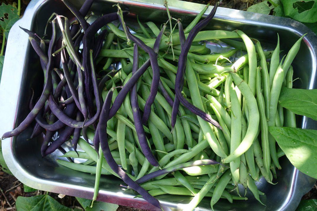 En form i rostfritt full med gröna och lila brytbönor.
