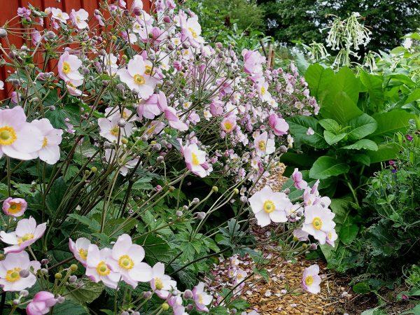 En vacker sommarbild med rosa blommor i massor
