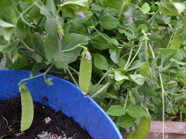 Plantor av sockerärter vid en blå tunna.