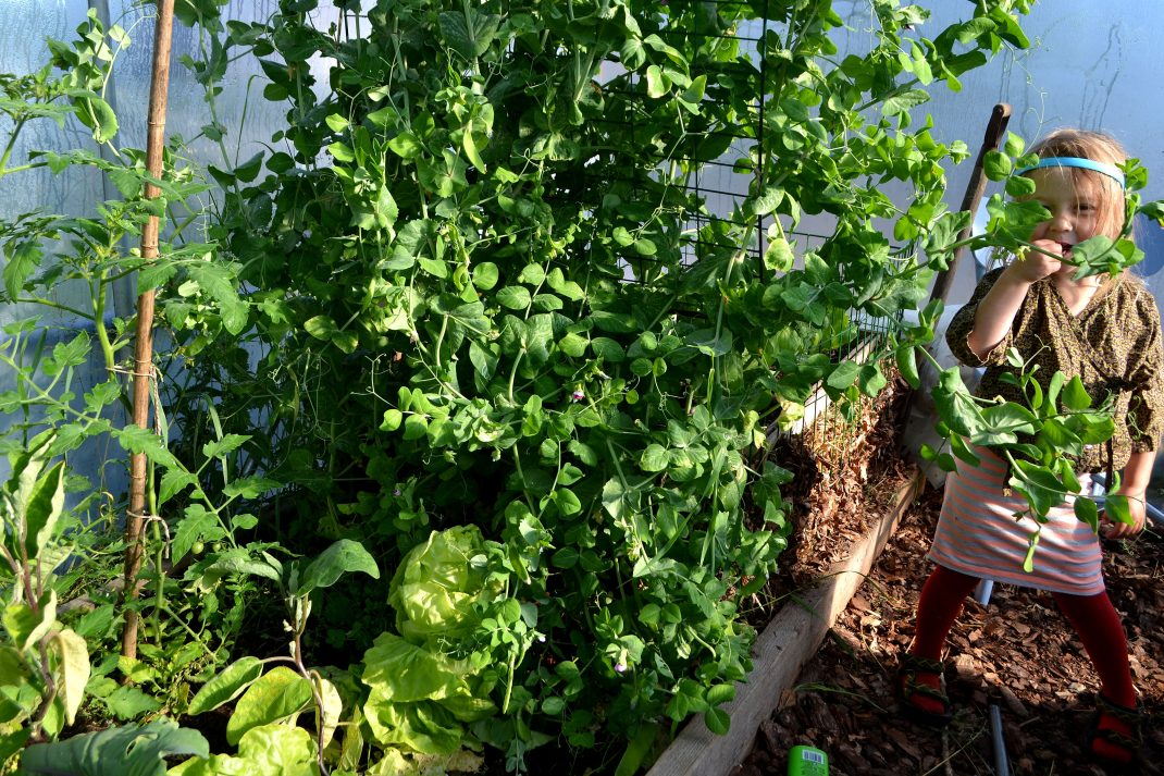 Tall pea plant in a polytunnel.