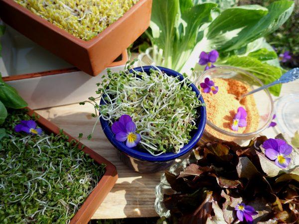 Flera olika små kärl med läckra groddar tillpiffade med violblommor.
