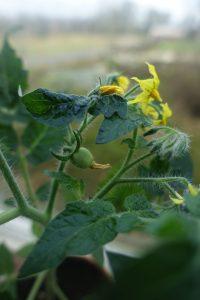 Närbild på tomatplanta med en pytteliten tomat.