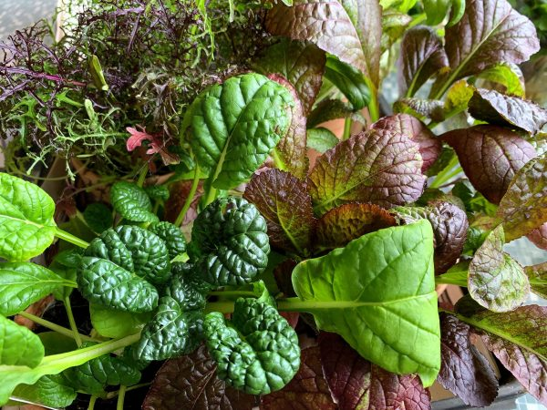 Närbild på bladgrönsaker i olika färger.