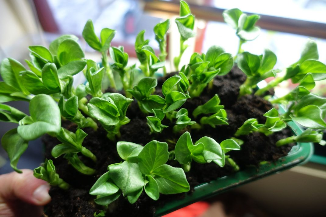 A tray with green shoots.