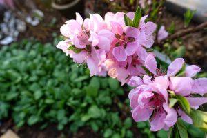 En kvist med starkt rosa blommor.