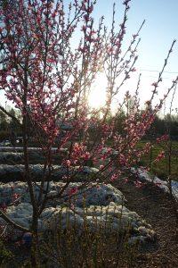 Ett litet träd blommar med rosa blommor i motljus.