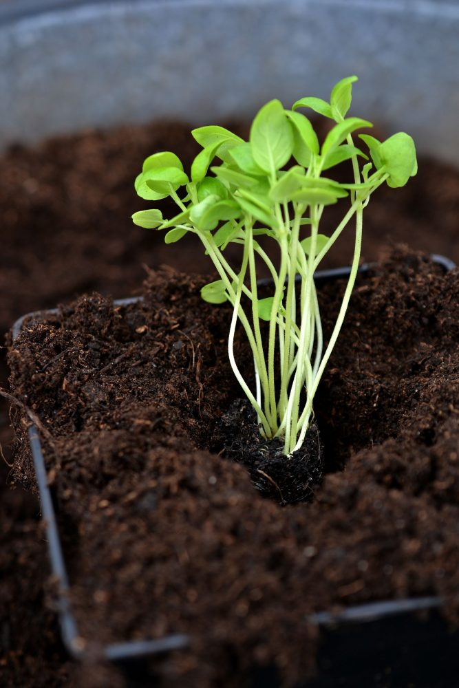 Grow basil in a plug tray, a basil plant in a pot filled with dark soil.