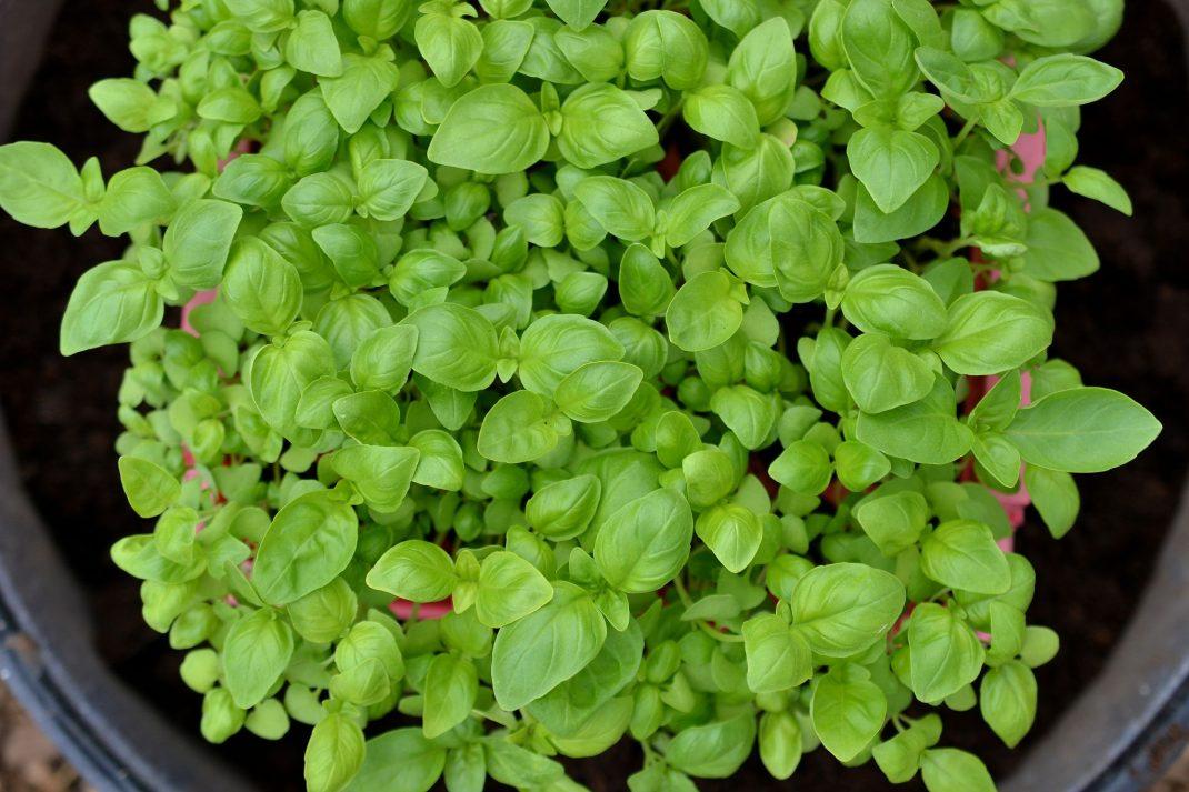 En grön matta av små basilikablad, fotograferad ovanifrån.