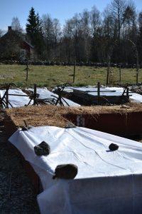 Pallkrageodling där vissa kragar har täckts med vit fiberduk.