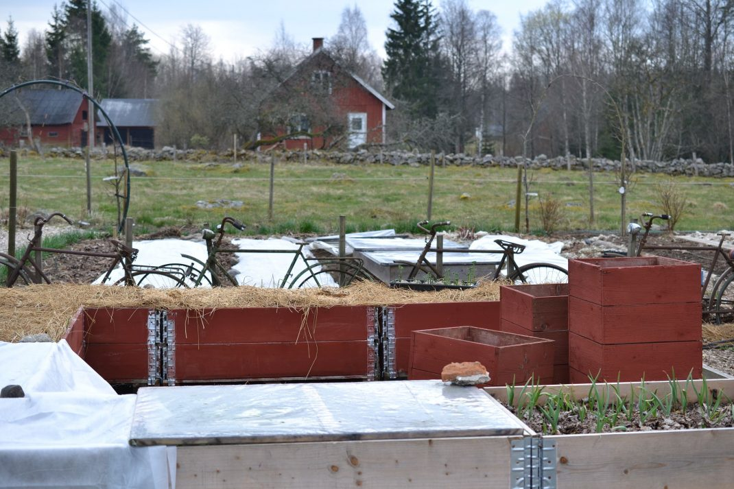 En pallkrageodling med röda pallkragar. Grow potatoes in a raised bed, red pallet collars.