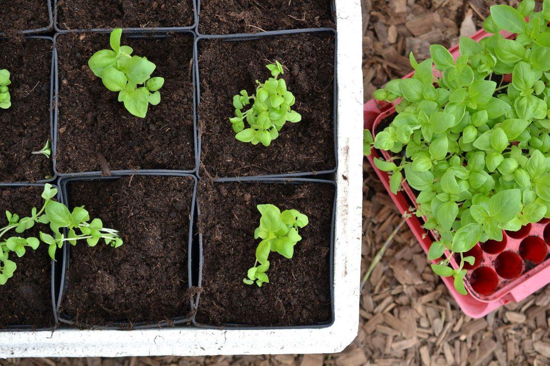 Grow basil in a plug tray, transplanted basil plants.