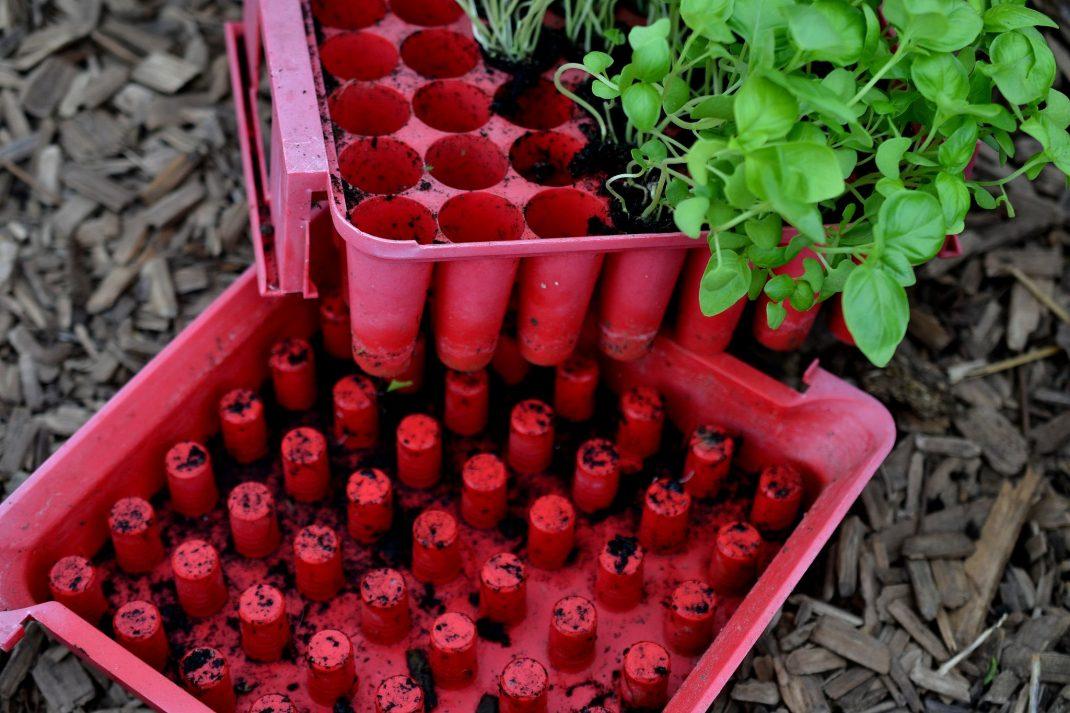 Grow basil in a a plug tray.