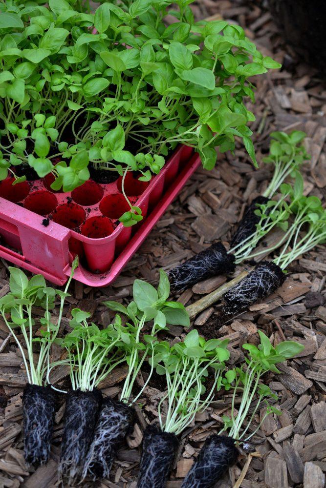 Fina plantor med avlång jordklump ligger på marken.