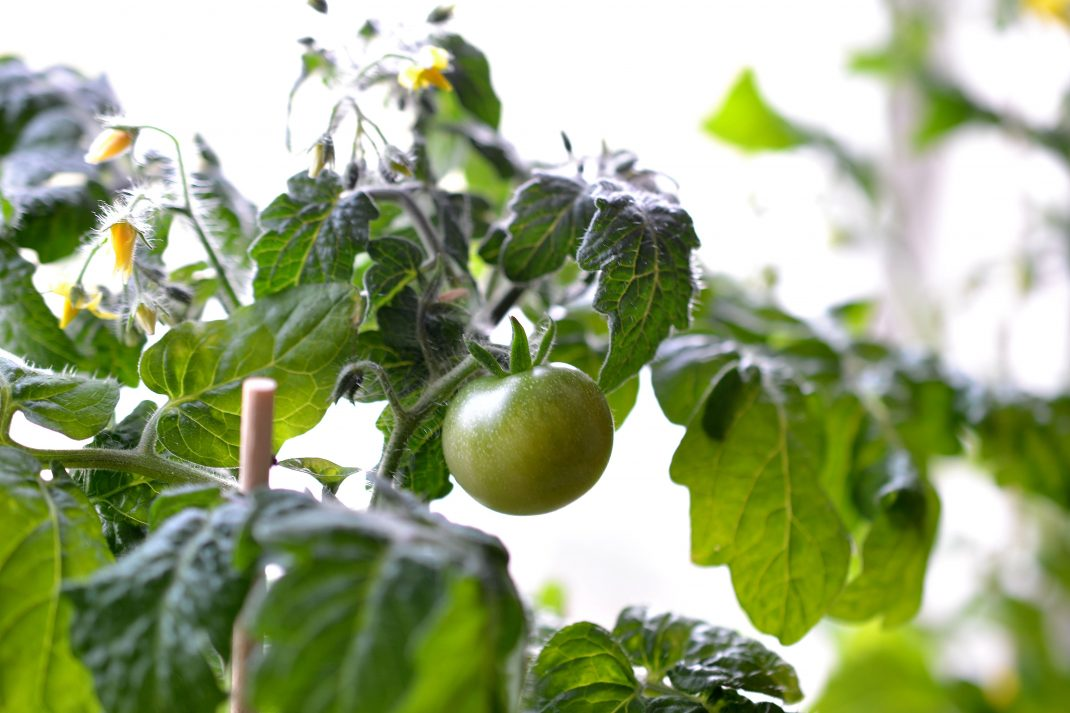 Tomatoes in pots, with a window behind.