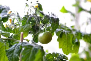 Tomat på en grön planta i motljus.