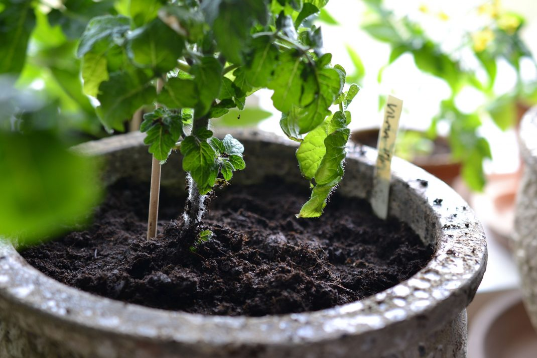 Tomatoes in pots, a clay pot.