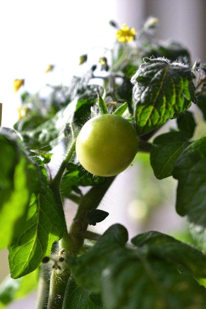 Närbild på en grön tomat. Close-up of a green tomato, tomatoes in pots.