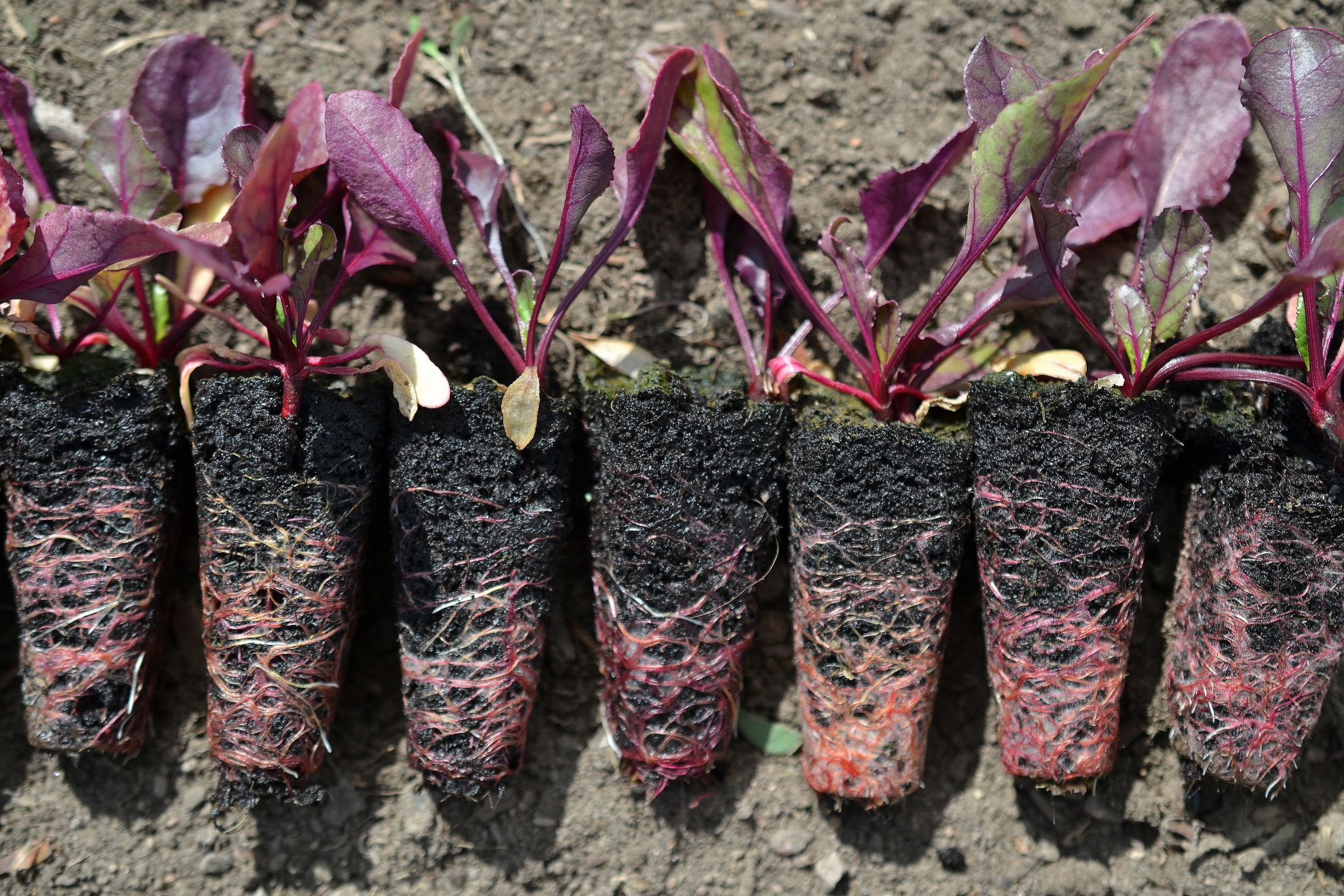 Growing Beets From Seed Sara S Kitchen Garden