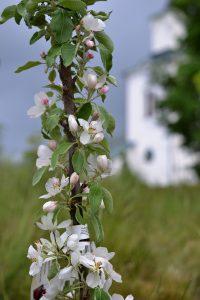 Träden har korta, korta fruktgrenar och vissa träd blommar i princip rakt på huvudstammen.
