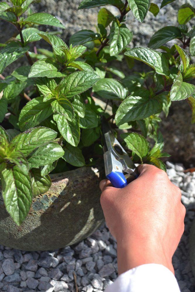 En hand sträcker fram en sekatör och klipper kvistar av plantan.