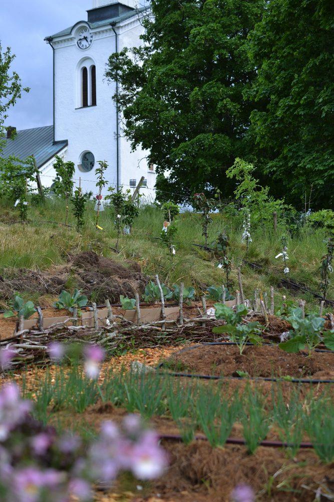 Köksträdgård med kyrka i bakgrunden och gröna växter som tittar upp.