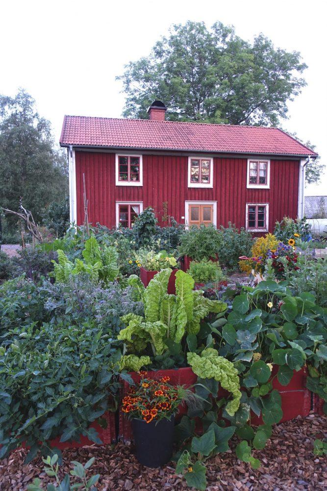 Grönsaksodling i pallkragar framför ett rött hus.