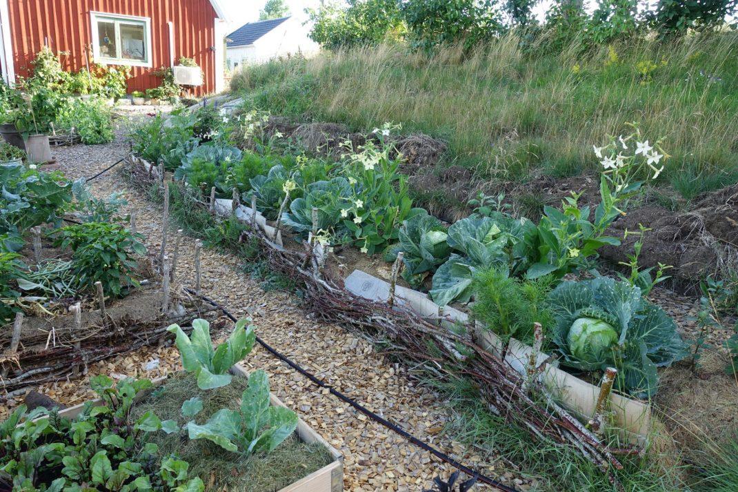 Trädgårdsbild med en stor bädd i sluttning med kål.