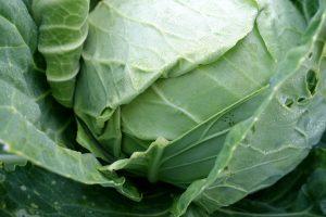 Närbild på kålhuvud med trasigt blad.