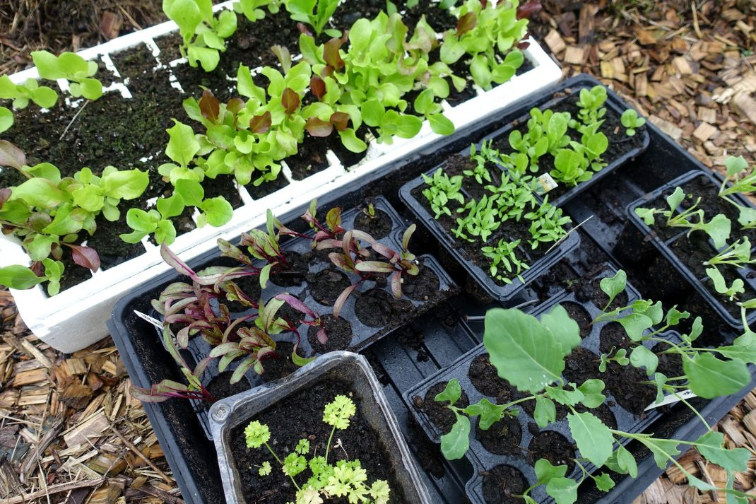 a mix of fast-growing leafy greens