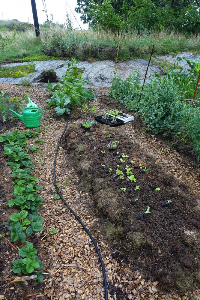 Plantor som lagts ut på odlingsbädden.