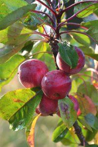 Ett litet träd med små röda frukter.