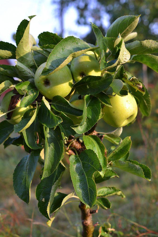Ett litet äppelträdmed gröna frukter.